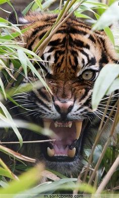 Photo of Tiger for fans of Animals 37364495 Nature Animals, Animals And Pets, Cute Animals, Fierce Animals, Wild Animals, Beautiful Cats, Animals Beautiful, Big Cats, Cats And Kittens