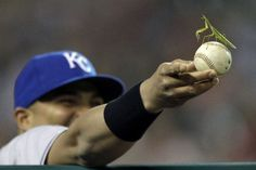 A Praying Mantis in the Kansas City Royals dugout.