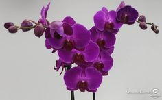 Phalaenopsis Floriclone Fire Fighter || orchidsexpress.com