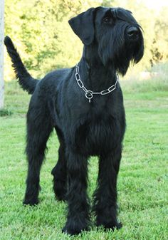 Giant Schnauzer The Effective Pictures We Offer You About Dogs and puppies pitbull A quality picture can tell you many Schnauzer Grooming, Dog Grooming Shop, Schnauzer Puppy, Miniature Schnauzer, Best Dog Breeds, Best Dogs, Giant Shnauzer, Schnauzer Gigante, Black Russian Terrier