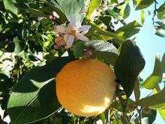 Apelsiner från trädgården vid Villa Gamberaia i Toscana.