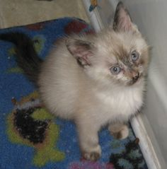 ADOPTED!!!  This is Cloud.  Cloud is a female 8 week old Siamese mix long haired kitten.  She is currently up for adoption from Cats Are Us.  If you would like to adopt Cloud or any of our other babies, please call (931) 503-0053 for information on adoptions.