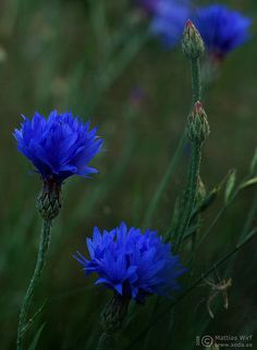 I think this is Cornflower / Blåklint / Cyanus segetum / Bleuet des champs / Kornblume ? Garden Trees, Garden Plants, Flower Gardening, Button Flowers, Cut Flowers, Painting The Roses Red, Blue Garden, Beach Gardens, Photo Blue