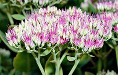 Roze hemelsleutel ( sedum spectabile) *late bloei