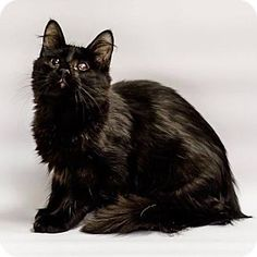 09/16/16 SUPER URGENT! Has been at the SPCA of Brazoria County since 05/27/16 with no interest! Domestic Longhair Cat for adoption in Lake Jackson, Texas - Astro