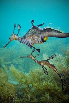 Marine Life - Sea Dragons- oh my gosh incredible creatures Underwater Creatures, Underwater Life, Ocean Creatures, All Gods Creatures, Weird Creatures, Wild Life, Beautiful Creatures, Animals Beautiful, Weedy Sea Dragon
