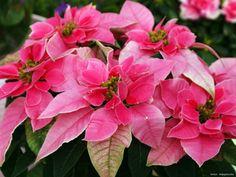 Rose, Garden, Flowers, Plants, Pink, Advent, Garten, Lawn And Garden, Gardens