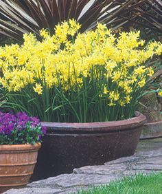 Bulbs in containers An extra large container of the delicate Narcissus Hawera lights up a dark area of the garden