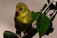 Female Gold Finch