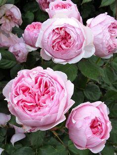 Geoff Hamilton roses | by Susan R~