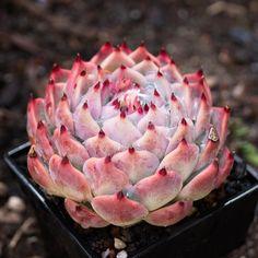 Echeveria chihuahuensis 吉娃娃 2020-09-04 #多肉植物 #succulents #echeveria #多肉 #拟石莲属 #echeveriachihuahuensis
