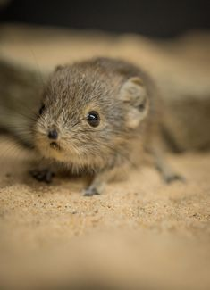 Tiny sengi twins born at Chester Zoo (27)