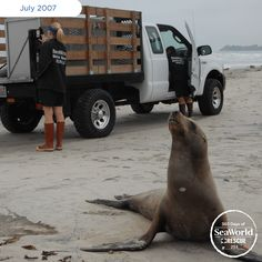 Did you know that sea lions have between 40 and 60 whiskers?! This guy shows his off as he is returned to the ocean. #365DaysOfRescue