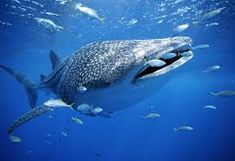Video de tiburón ballena▶ 2:13 https://www.youtube.com/watch?v=0K0dVdhGnQw