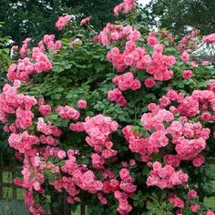 Nearly thornless stems produce an abundance of deliciously sweet scented double pink flowers! Perfect for a narrow archway where you might bump into it now and then. A shade tolerant rose ? This is perhaps the BEST shade-blooming rose that we know of! AND it is a vigorous climber that produces 1000's of double-pink blooms. Little maintenance ? You bet! This carefree climbing rose thrives with minimal care and is highly resistant to blackspot, powdery mildew, even Japanese Beetle...
