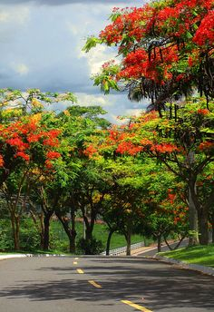 Royal Poinciana or Flamboyant. It is also one of several trees known as Flame tree.  Photo:  Golas, Brazil by osvaldoeaf