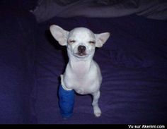 Chihuahua content avec un plâtre - Happy Chihuahua with a cast