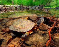 Wood Turtle - Clemmys insculpta