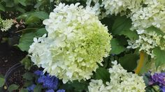 Hydrangea paniculata 'Phantom' Upright, full shrub with huge white flower heads that have a light green coloring in early summer, turning white from July to August, and finally darkening to pink in the Fall.  Strong, stiff stems support these large, very dense  pyramid shaped flowers. Best used in flower borders and beds, low maintenance city & courtyard gardens, Coastal, Cottage,  and Informal gardens.