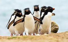 Ultra HD rockhopper penguins