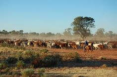 """Cattle on the move - """"Tennappera""""  - Narylico Station Far South West Queensland, Australia."""