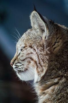 Bobcat Profile Face Closeup stock photo 615394160 | iStock Face Profile, Art Reference, Close Up, Stock Photos, Cats, Animals, Image, Gatos, Animales