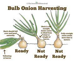 Knowing When to Harvest Onions Growing Onions, Growing Vegetables, Vegetables Garden, Growing Tomatoes, Container Gardening Vegetables, When To Harvest Onions, How To Harvest Garlic, How To Plant Onions, Harvest Time