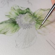 2,323 mentions J'aime, 76 commentaires – GiacoMina Ferrillo (@giacominaferrillo) sur Instagram : « Helleborus in progress. . . . . . #art #illustration #drawing #worksonpaper #artist #sketch… »