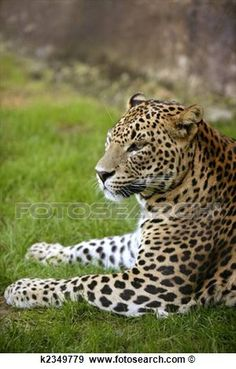 African Leopard On Green Grass Poster African Leopard, Green Grass, Big Cats, Cheetah, Cubs, Panther, Animals, Products, Perfect Photo