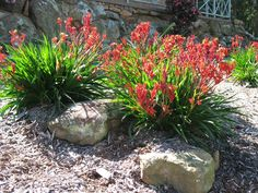 Anigozanthos kangaroo paw 'Bush Elegance' Landscape Design, Garden Design, Kangaroo Paw, Native Plants, Flora, Backyard, Elegant, Outdoors, Nature