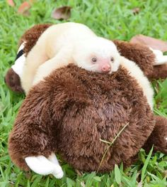 Baby sloth … More