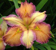 Louisiana Iris 'Our Dorothy'