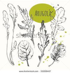 Set of hand drawn arugula. Black and white sketch. Fresh organic food. Vector illustration with salad herbs.