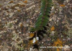 Tumbuhan Cantik di Bukit Wangkang - BorneoScape