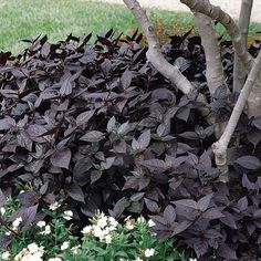 Alternanthera Seeds - Purple Knight, Darkest foliage available in any plant species. Foliage,gets darker,more beautiful the hotter it gets! Black Flowers, All Flowers, Bush Garden, Gothic Garden, Perennial Vegetables, Annual Flowers, Foliage Plants, Plant Species, Types Of Plants