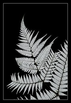 White Wahine by Kez Wickham St George New Zealand Symbols, Fern Tattoo, Skin Grafting, Silver Fern, Ferns, Beautiful Pictures, Novels, Artwork, Lazer Cut