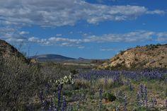 Bluebonnets. Big Bend National Park. Photography by: Tim Speer