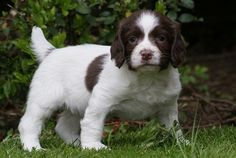 "Springer Spaniel Puppy -- ""chubby gobbles"" . . ."