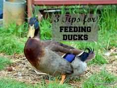 I have changed my ways on feeding ducklings. Having a duck develop angel wing encouraged me to look at what I was feeding and examine the protein content