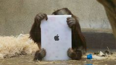 Teaching Orang Oetangs to use ipads so they can stay in contact with family at other zoos. No joke!