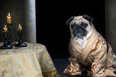 Game of Thrones Pugs of Westeros, Varys - Roxy, Blue and Bono are three cute pugs from California that love being dressed up and photographed by their owners – Phillip & Sue Lauer.