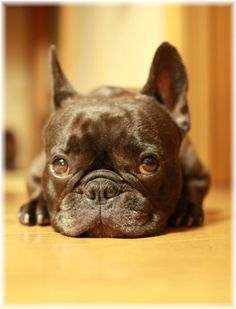 French Bulldog - So freakin adorable!