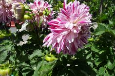 Candy striped dahlias!