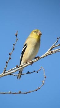American Goldfinch (15 pieces)