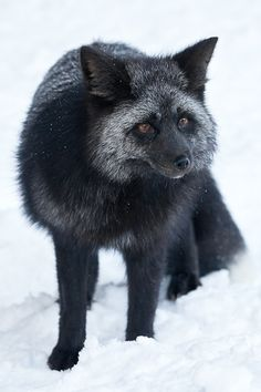 Black foxes! I had no idea they existed! Gorgeous. Cascade Foxes at Mount Rainier | Lee Rentz ...