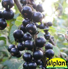 Ribes nigrum 'Hildur', svarta vinbär. Upprättväxande svensk sort. Förbättrad Öjebyn. Höjd: 1-1,5 m.