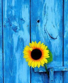<3 yellow & blue color of my new barn door, gonna have the grandkids help me paint yellow sunflorers on it!