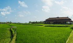 Rice paddies surrounding The Chedi Club at Tanah Gajah #Ubud #Bali