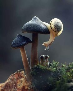 Snail on a mushroom, Photo by Kessie Lo Nature Animals, Animals And Pets, Baby Animals, Funny Animals, Cute Animals, Beautiful Creatures, Animals Beautiful, Mushroom Art, Mushroom Fungi