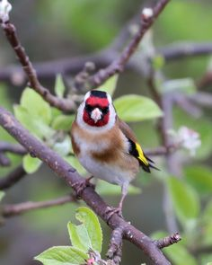 Canon Zoom Lens, Finches, Birds, Garden, Painting, Animals, Goldfinch, Animales, Animaux